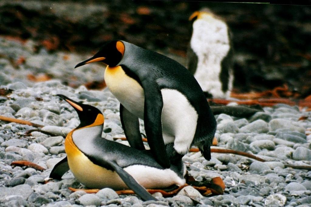 Пингвины совокупляются