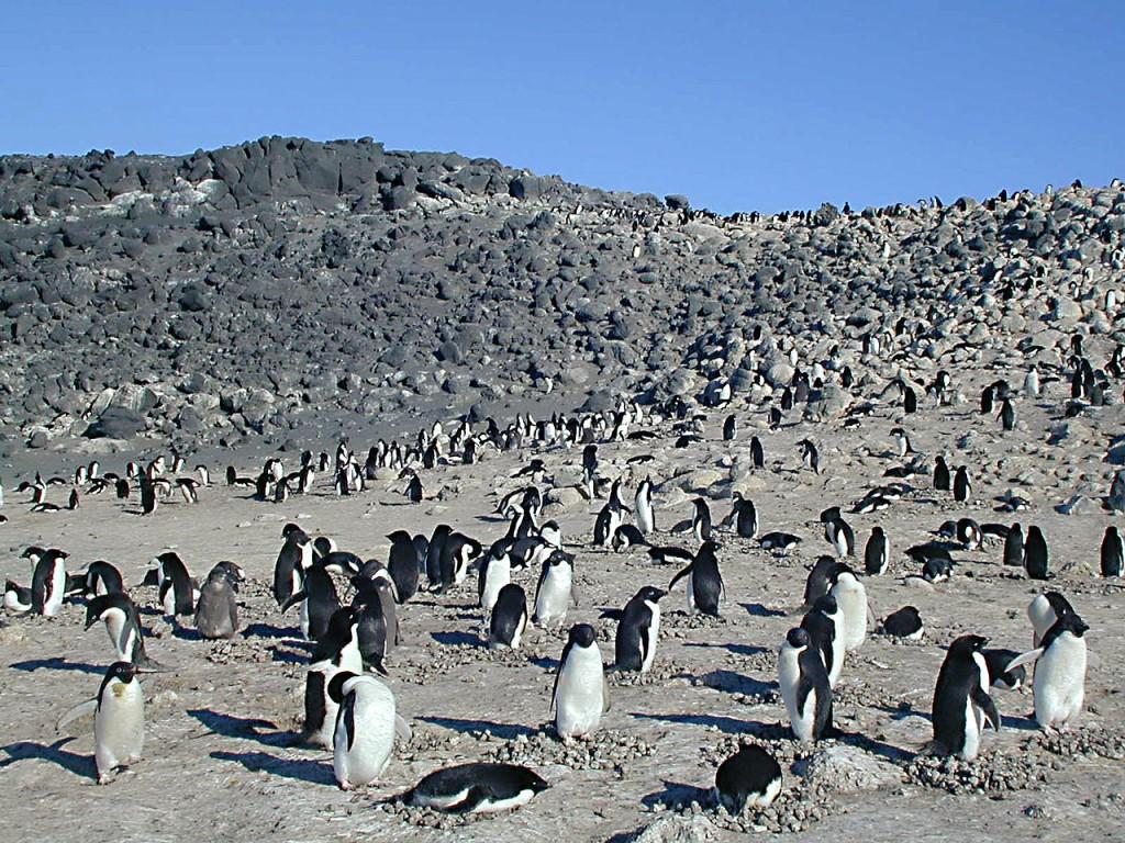 Пингвин Адели — птица средних размеров