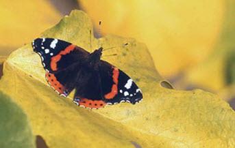 Бабочка Адмирал (Vanessa atalanta)