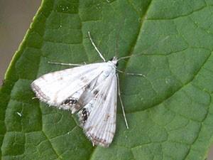 Бабочка Агнёвка (Pyralididae)