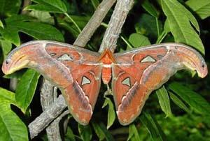 Бабочка Атлас (Attacus atlas)