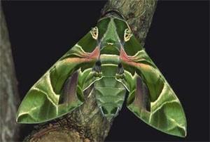 Бабочка Бражник (Бражник олеандровый)