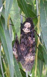 Бабочка Бражник (Голова мёртвая)