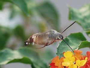 Бабочка Бражник (Хоботник)