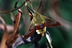 Шмелевидка жимолостная (Hemaris fuciformis)