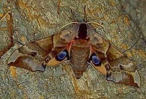 Бабочка Бражник (Зубчатка глазчатая)
