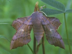 Бабочка Бражник(Sphingidae)