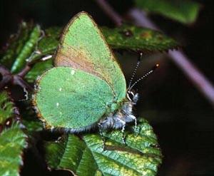 Бабочка Голубянка (Lycaenidae)