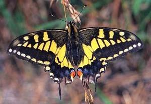 Бабочка Кавалер (Махаон)