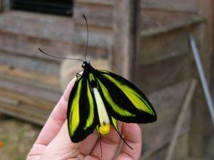 Бабочка Кавалер (Орнитоптера райская)