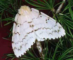 Монашенка(Lymantria monacha)
