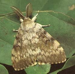 Бабочка Волнянка (Шелкопряд непарный)