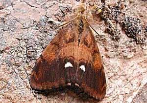 Бабочка Волнянка (Волнянка античная)