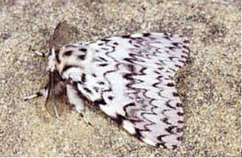 Бабочка Волнянка(Limantriidae)