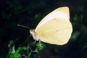 Репница (Pieris rapae)