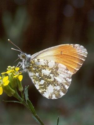 Бабочка белянка (Зорька)