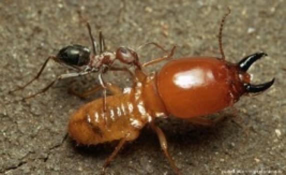 Белые муравьи