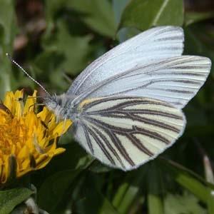 Передние крылья самца брюквенницы с одним пятном, а запах у самца брюквенницы — лимонного масла.