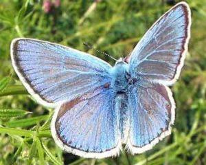 Голубянка алекто