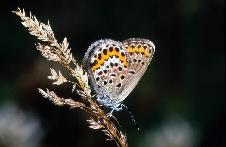 Голубянка (Lycaenidae)
