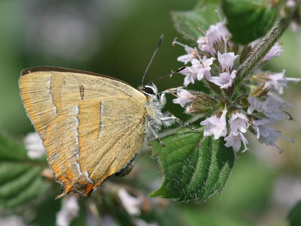 Голубянки (Thecla coronata)