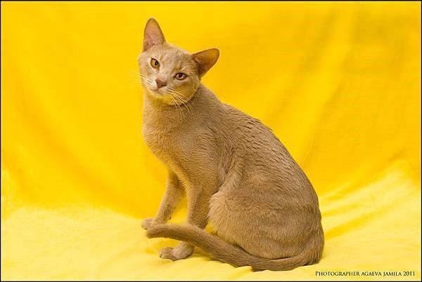 Характер у абиссинских кошек