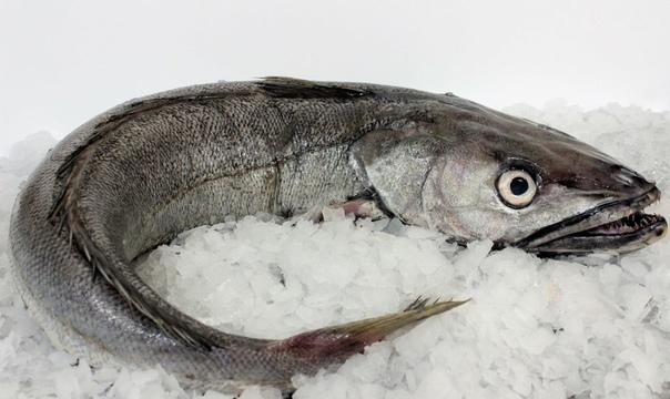 silvery hake