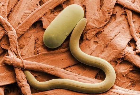 Круглые черви, или Нематоды