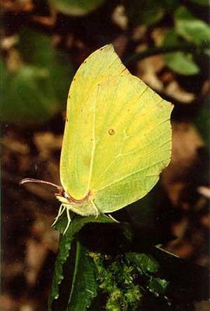 Лимонница(Gonepteryx rhamni)