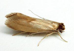 Моль платяная (Tineola biselliella)