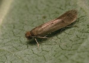 Моль шубная(Tinea pellionella)