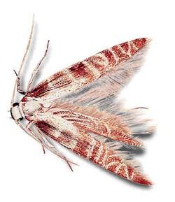 Моль зерновая(Nemanogon granellus)