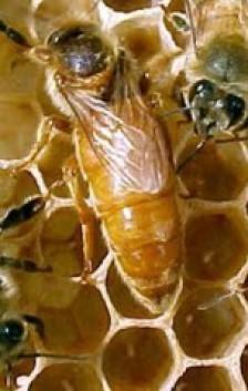 Пчела — матка