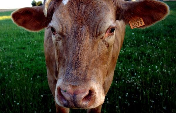 Почему грустные глаза у коровы