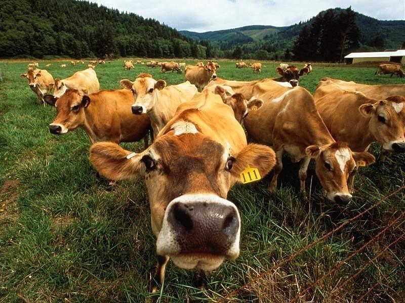 """4 вопроса """"почему"""" про жизнь коровы"""
