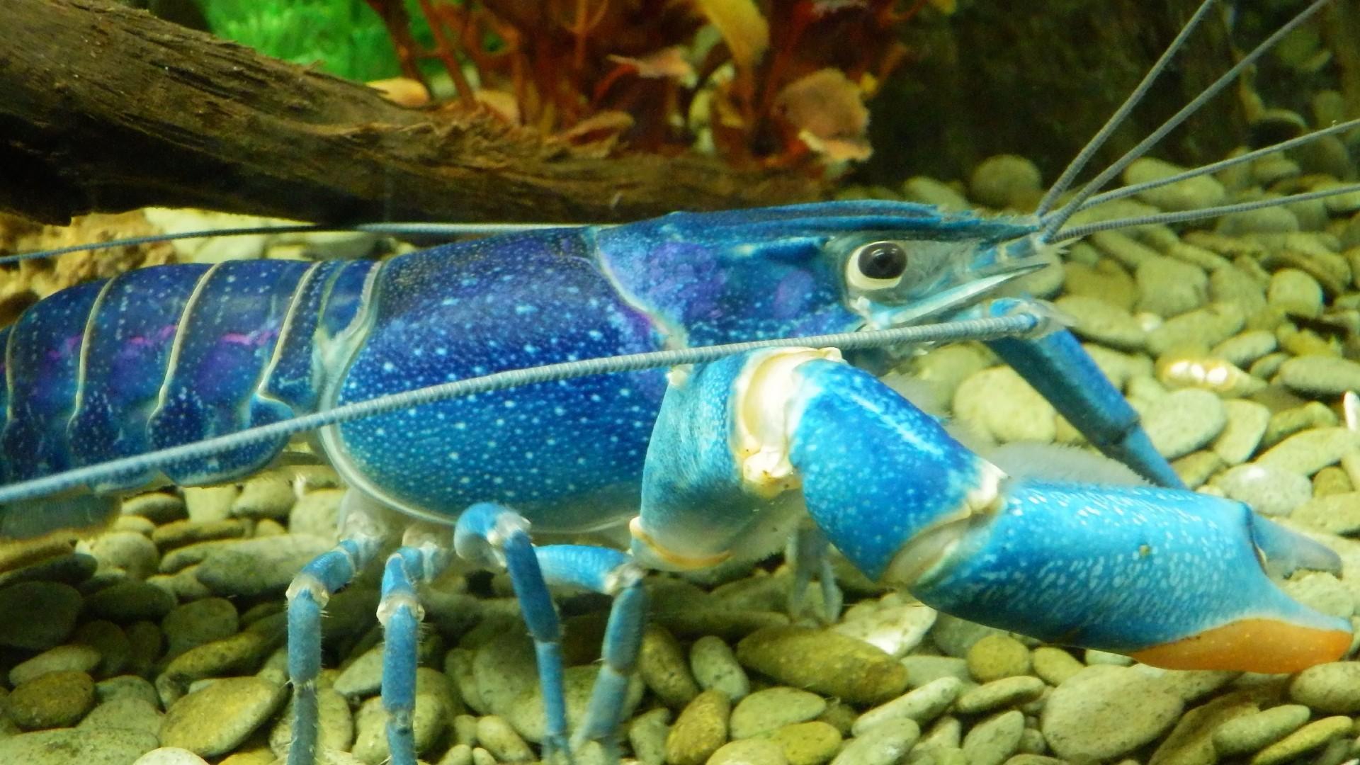 Ракообразные голубой рак