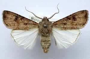 Совка озимая (Scotia segetum)