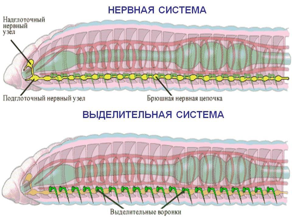 Выделительная система червей