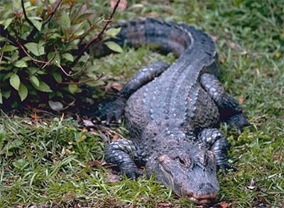 Крокодилы чувствительные существа