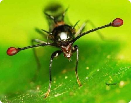 Стебельчатоглазая муха( Diopsidae)