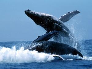 Горбатый кит, или горбач, или длиннору́кий полоса́тик(лат. Megaptera novaeangliae)